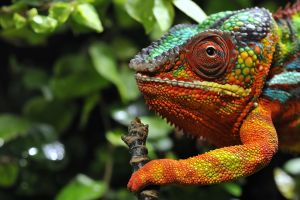 reptiles colorful chameleons