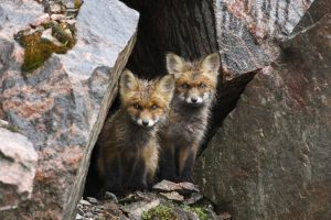 rock baby animals fox animals
