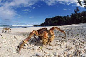 sea sand crabs crustaceans
