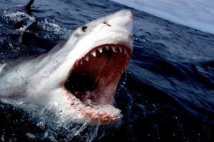sea shark great white shark