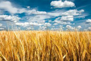 seeds spikelets landscape clouds plants sky horizon field nature grain