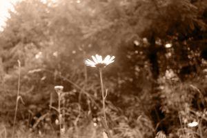 sepia flowers nature