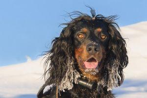 setters snow photography nature animals dog black pet