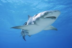 shark sea life great white shark fish animals