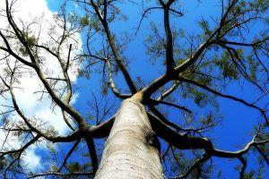 sky baobab trees clouds