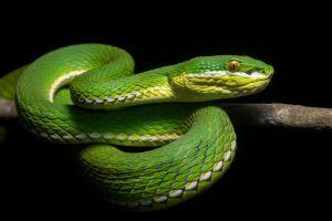 snake animals reptiles