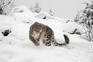snow big cats animals