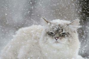 snow flakes cats animals winter snow