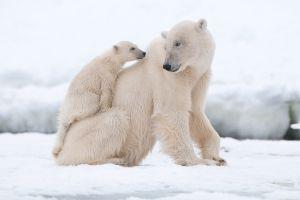 snow nature polar bears