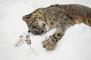 snow snow leopards hugging animals leopard (animal)