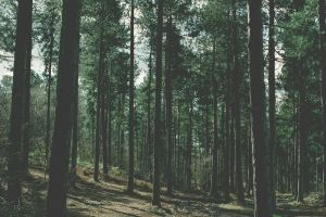 soft forest nature pine trees