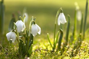 spring white flowers snowdrops nature
