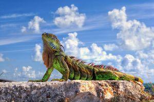 stones clouds gecko animals