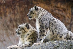 stones profile animals wildlife leopard (animal) snow leopards