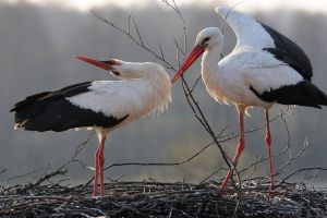 stork birds nests animals couple