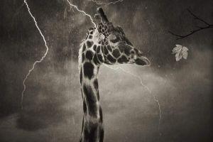 storm giraffes monochrome