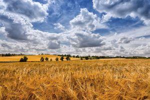 summer field landscape wheat nature