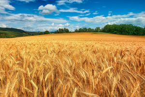 summer spikelets field nature wheat landscape