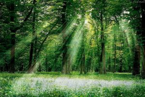 sun rays forest trees