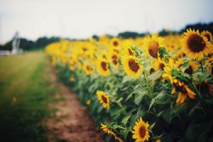 sunflowers flowers soft field yellow flowers