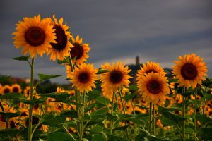 sunflowers flowers yellow flowers plants