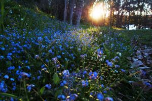 sunlight nature forget-me-nots blue flowers flowers