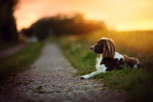 sunset dog bokeh depth of field path animals