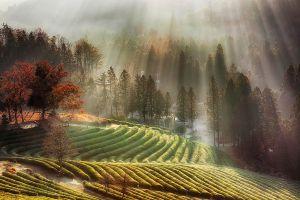 tea sun rays trees nature landscape field farm mist morning fall south korea
