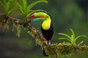 toucans animals nature birds