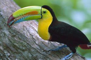toucans nature birds