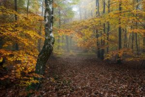 trees birch path plants fall