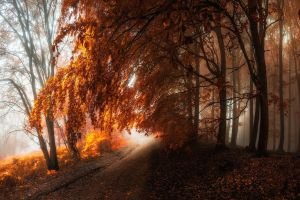 trees leaves forest nature mist fall landscape path