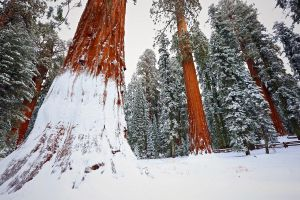 trees nature redwood winter forest snow