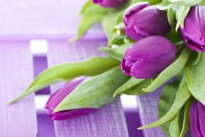 tulips flowers plants