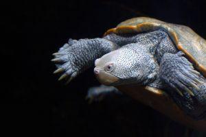 turtle black background animals