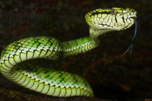 vipers animals nature reptiles snake