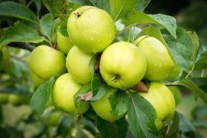 water drops leaves food apples outdoors plants