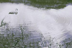 water swan photography animals
