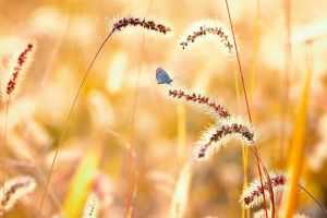 wheat butterfly nature macro