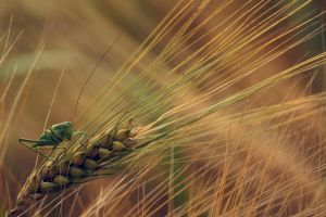 wheat spikelets macro grasshopper plants green insect nature