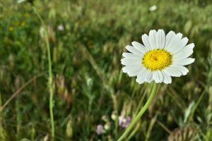 white flowers plants grass flowers