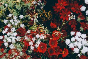 white flowers red flowers flowers plants