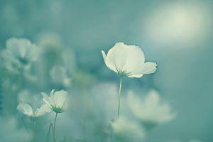 white flowers soft flowers plants