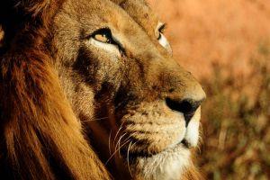 wildlife animals lion