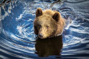 wildlife mammals animals in water bears