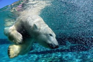 wildlife polar bears animals
