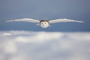 winter macro white birds wildlife animals photography nature owl snowy owl blurred