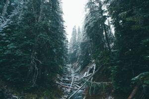 winter nature trees snow forest fir