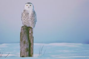 winter owl birds animals