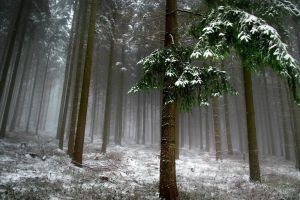 winter snow leaves branch mist forest photography nature trees